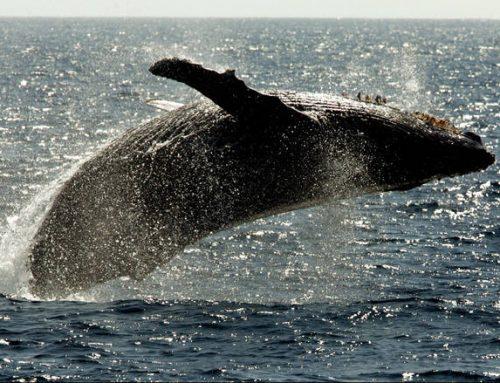 Ελευθερώνονται οι «φυλακισμένες φάλαινες» της Ρωσίας