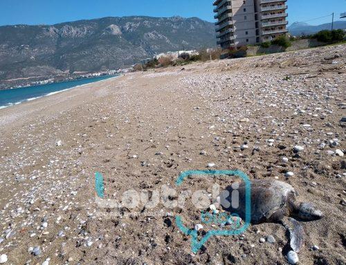 Βρέθηκε νεκρή θαλάσσια χελώνα στο Λουτράκι