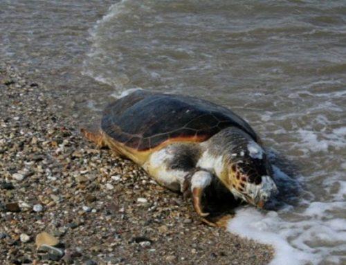 Νεκρές εντοπίστηκαν δύο θαλάσσιες χελώνες σε Μονεμβασιά και Φθιώτιδα