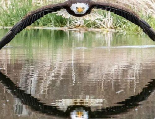 Η φωτογραφία του φαλακρού αετού που καθήλωσε τον κόσμο