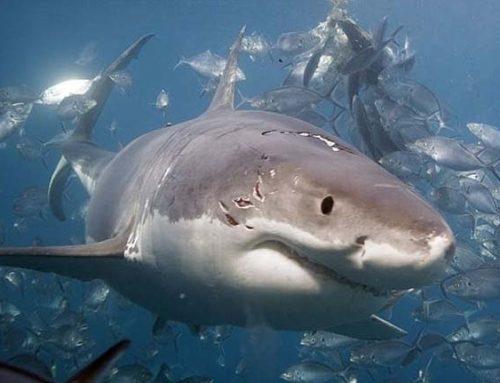 Με εξαφάνιση απειλούνται οι καρχαρίες