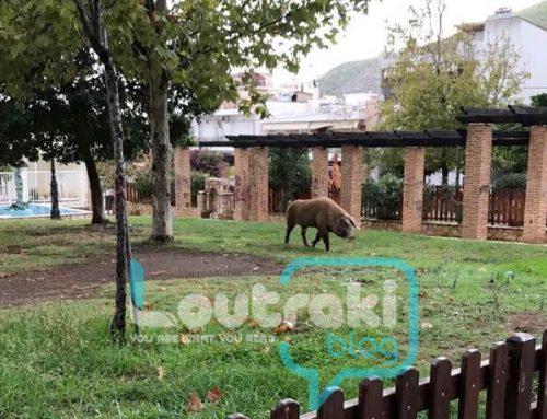 Απίστευτο και όμως αληθινό:Μεγάλο γουρούνι κόβει βόλτες στο κέντρο του Λουτρακίου (φώτο)