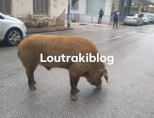 """Λουτράκι:Συνεχίζει την """"τσάρκα"""" το μεγαλόσωμο γουρούνι (φωτό)"""