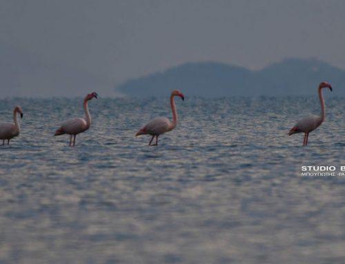 Χειμωνιάτικη επίσκεψη φλαμίνγκο στο Ναύπλιο