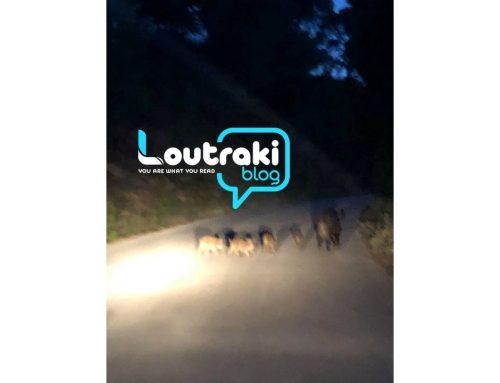 Λουτράκι: Αγριογούρουνο κάνει βόλτα με τα μικρά του !