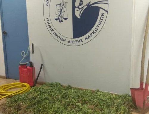 1100 δενδρύλλια κάναβης εντόπισε η ΕΛ.ΑΣ στα Γεράνεια Όρη – video
