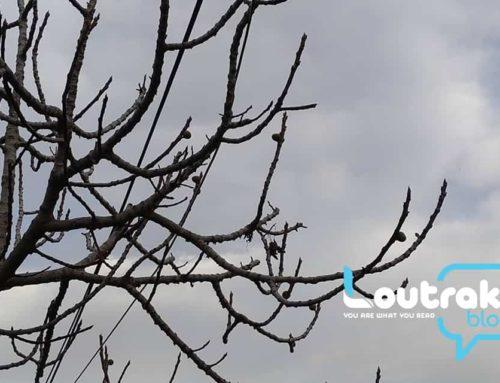 Κόρινθος-Λουτράκι: «Τρελάθηκε» η φύση. Δείτε τι έβγαλαν τα δέντρα (φωτο)