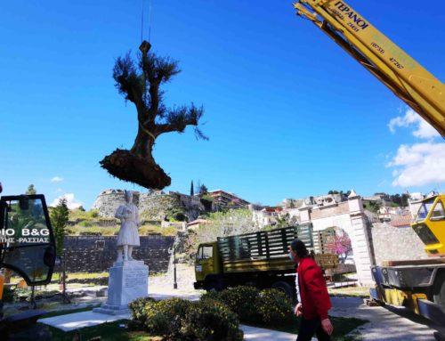 Ναύπλιο: Τοποθετήθηκαν υπεραιωνόβιες ελιές (φωτο)